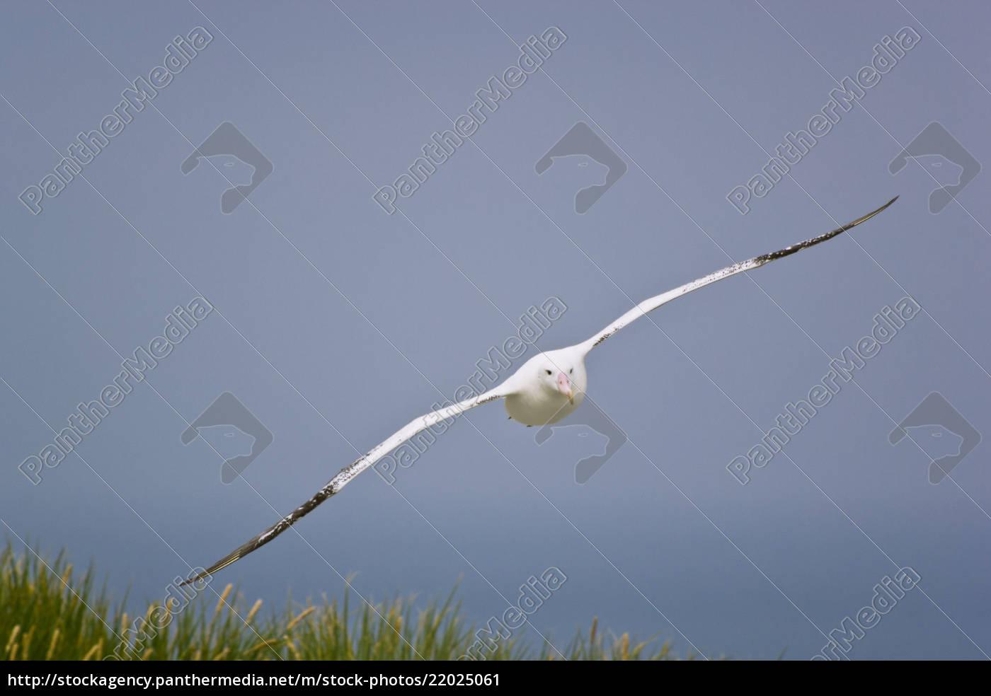 wandering, albatross, in, flight, , diomedea, exulans, - 22025061
