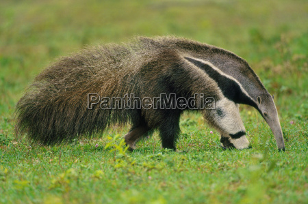 giant anteater searching for termites myrmecophaga