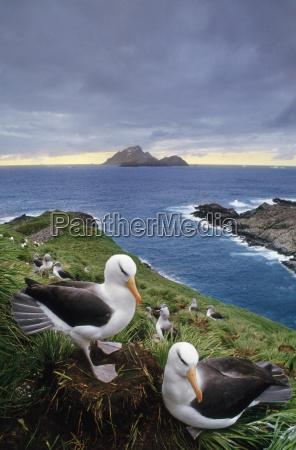 black browed albatross couple thalassarche melanophrys