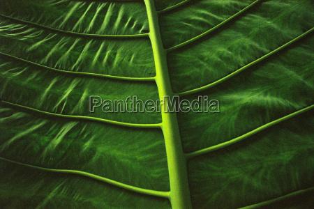 leaf ribs sabah borneo
