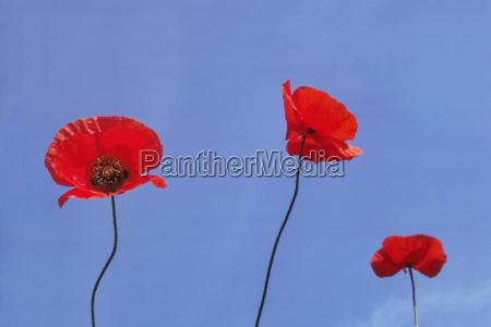 european poppies eschscholzia sp netherlands