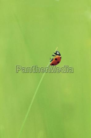 ladybug on grass stem coccinella septempunctata