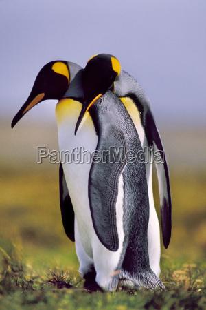 king penguins courting aptenodytes patagonicus south