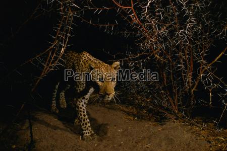 leopard panthera pardus in thornbush chobe