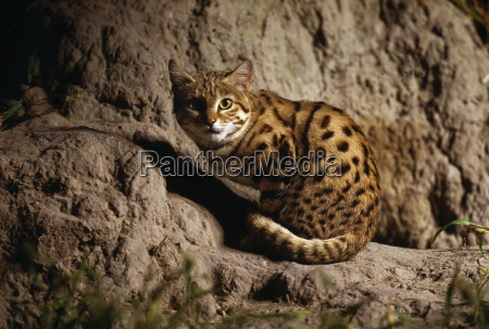 black footed cat felis nigripes okavango