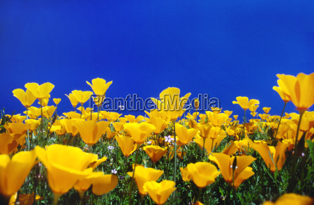 california poppies eschscholzia californica monterey bay
