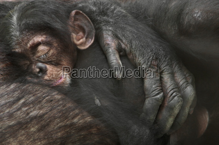 chimpanzee baby sleeping in mothers arms