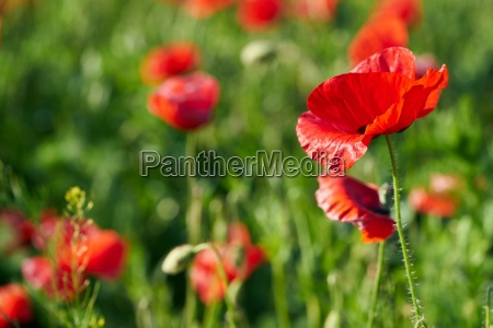 poppies on a field in spring