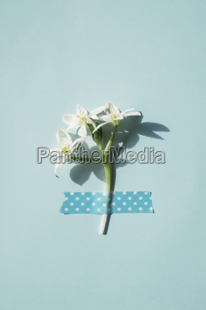 spring flower fixed with tape on