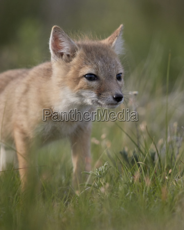 swift fox vulpes velox kit pawnee