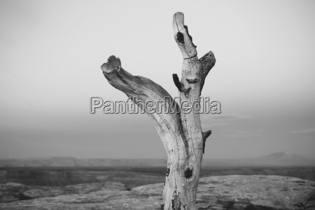 tree remains on muley point overlooking