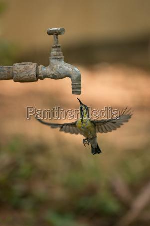female purple sunbird hovering under garden
