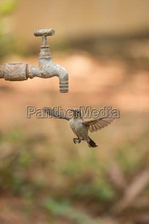 female purple sunbird hovering under outdoor