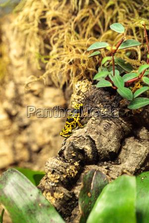 bumble bee poison dart frog dendrobates