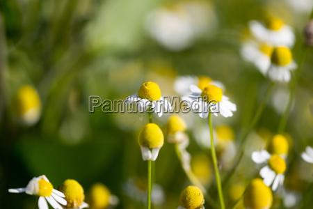 beautiful blooming medical chamomiles in sun