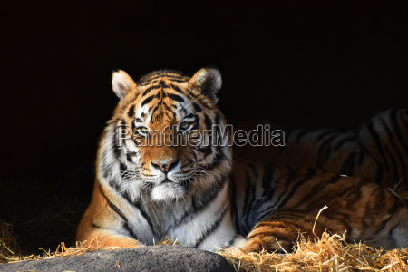 siberian tiger looks out of the