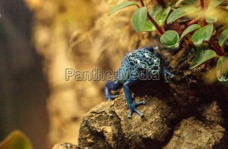 blue poison dart frog dendrobates tinctorius