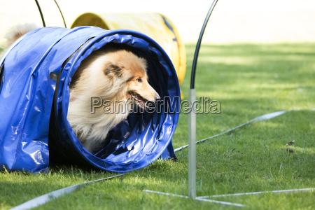 dog scottish collie running through agility