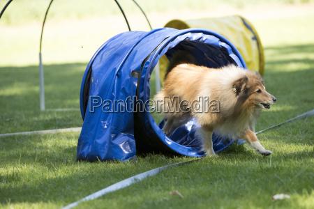 dog shetland sheepdog running through agility