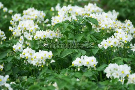 white flowering potato plants