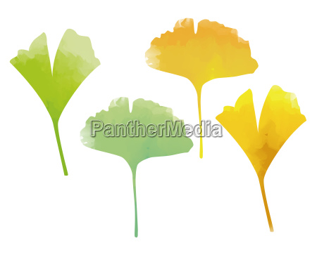 green and yellow ginkgo leaves watercolor