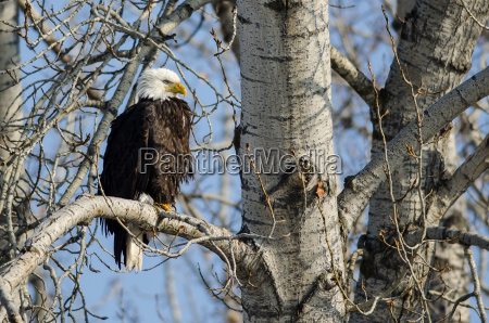 bald eagle perched high in the