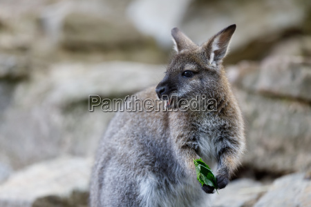 red necked wallaby kangaroo baby