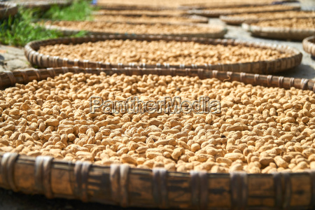 fresh peanuts dryed in the sun