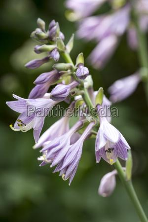 flowers of a funkie hosta in
