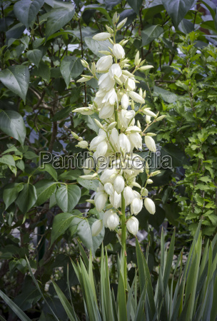 blossoming palm tree yucca filamentosa in