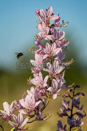 beautiful flowers in the springtime dictamnus