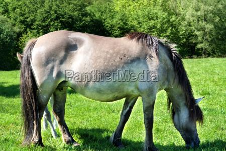 tarpane wild horse herd in neandertal