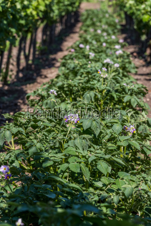 potato plants between vineyards from hungary