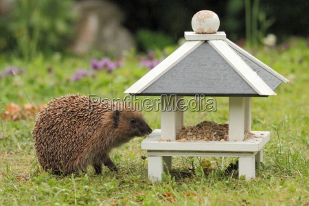 a hedgehog as visitor of the