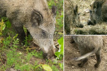 details of wild boar collage