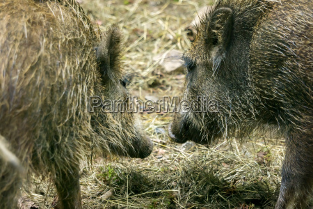 wild boars are looking at each