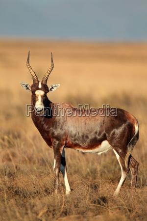 blesbok, antelope, in, grassland, - 22644845