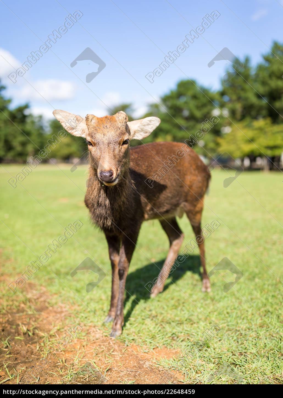 red, deer - 22648459