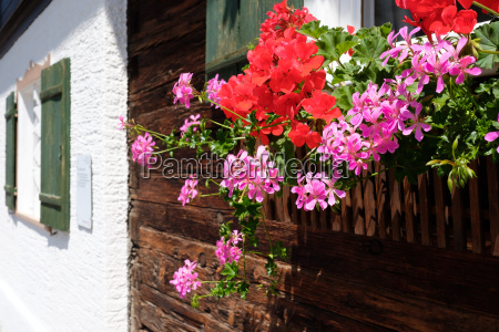 geranium with blossom red and pink