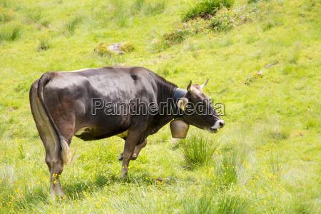 organic farming wiht happy cows