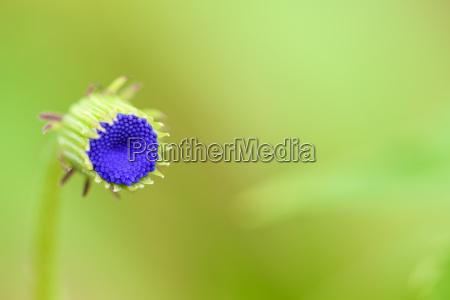 closeup mini blue flower