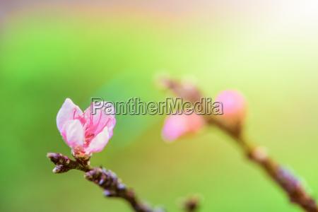 pink flower of peach