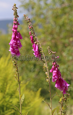 red foxglove digitalis purpurea