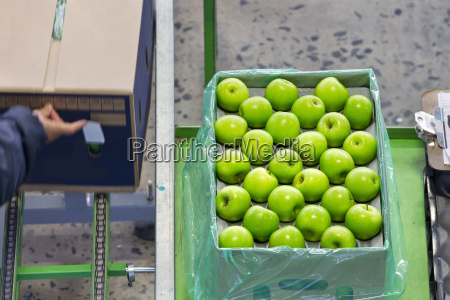 workers packing apples into boxes in