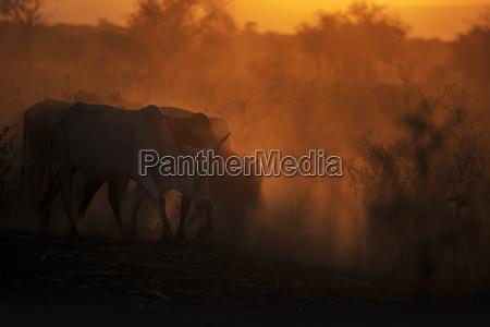 zebu cattle grazing at dusk tanzania