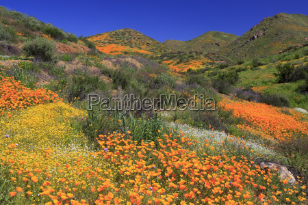 poppies and goldfields chino hills state