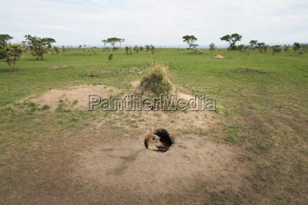 spotted hyena crocuta crocuta ishasha uganda