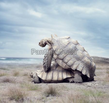giant galapagos turtles mating
