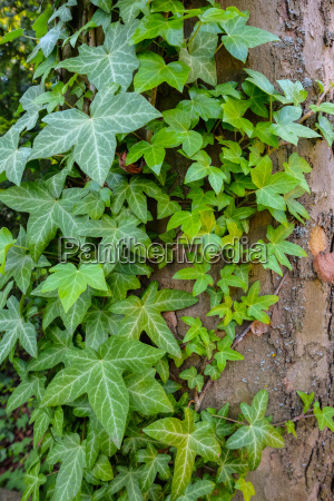ivy hedera helix with green foliage