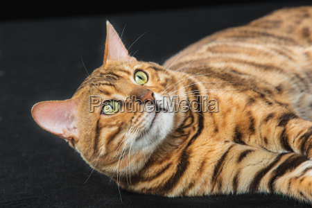 the gold bengal cat on black